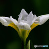 白コアヤメの花  21-290