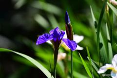 紫コアヤメの花  21-311