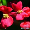 庭に咲いた赤い花  21-599