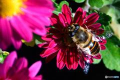 庭に咲いた花に蜂さん  21-573