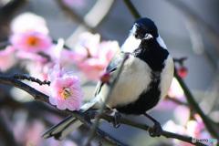 梅の花と四十雀さん  21-130