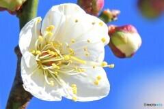 やっと咲いた白梅の花  21-001
