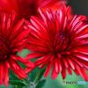 赤い花  21-510