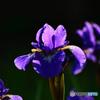 夕陽に透過された花の葉脈  21-338