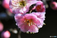 梅の花  21-097