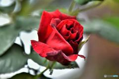 5月頃庭に咲いた薔薇の花  21-609