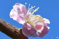 梅の花 304