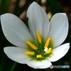 庭に咲いたタマスダレの花  21-569