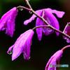 紫蘭の花も雨にうな垂れる  21-321