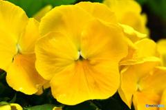 春に咲いた黄色の花  21-584