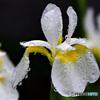 雨に濡れた白コアヤメの花  21-323