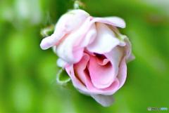 蕾 21-438 アオキの花