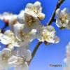 青空と白い梅の花 21-051