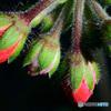 赤い花の蕾  21-505