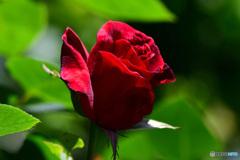 庭に咲いた薔薇の花  21-294