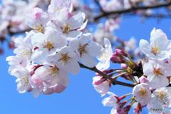 春の花  21-127  サクラは後2週間