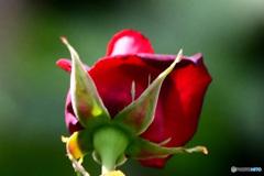 赤い花の後姿  21-527