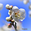 春の花 白梅  21-056
