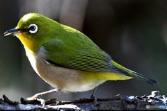 野山の鳥  21-320  メジ君