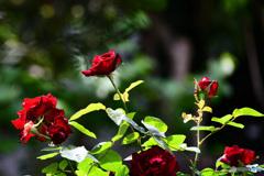 庭に咲いた薔薇の花  21-327