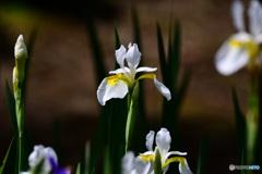白コアヤメの花  21-334