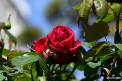 庭に咲いた薔薇の花  21-336