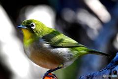 野山の鳥  21-319  メジ君