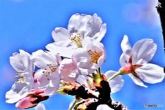 春の花  21-121
