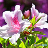 庭に咲いたツツジの花  416