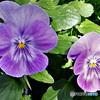 庭に咲いた花  21-619