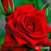 花壇に咲いた薔薇  777