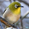 野山の鳥 メジ君  21-169