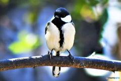 野山の鳥   21-211  シジュウカラさん
