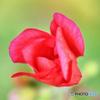 赤い花の蕾  21-458