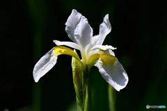 白コアヤメの花  21-328
