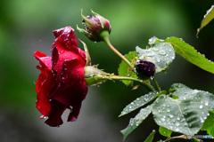 雨に濡れる薔薇の花  21-322