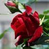 庭に咲いた薔薇   625