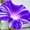 朝顔の花   21-484