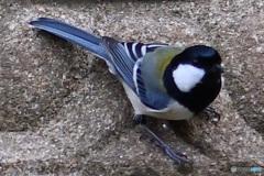 野山の鳥  21-224  シジュウカラさん
