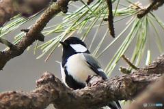 松の木に四十雀さん  21-121
