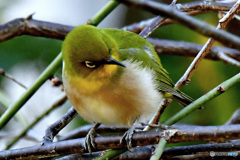 野山の鳥  21-312    メジ君