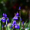 咲き揃う紫コアヤメの花  21-324