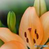 ユリの花  547