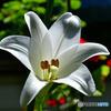 庭に咲いたユリの花  588