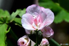 庭に咲いた花  21-591