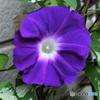 庭に咲いたアサガオの花  21-469