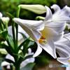 庭に咲いたユリの花全開花  21-405