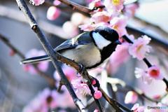 梅の花と四十雀さん  21-127