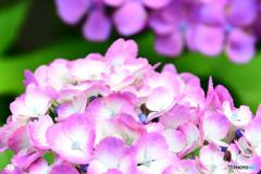 庭に咲いた紫陽花の花  21-411