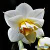 今年初咲きの八重水仙  21-065